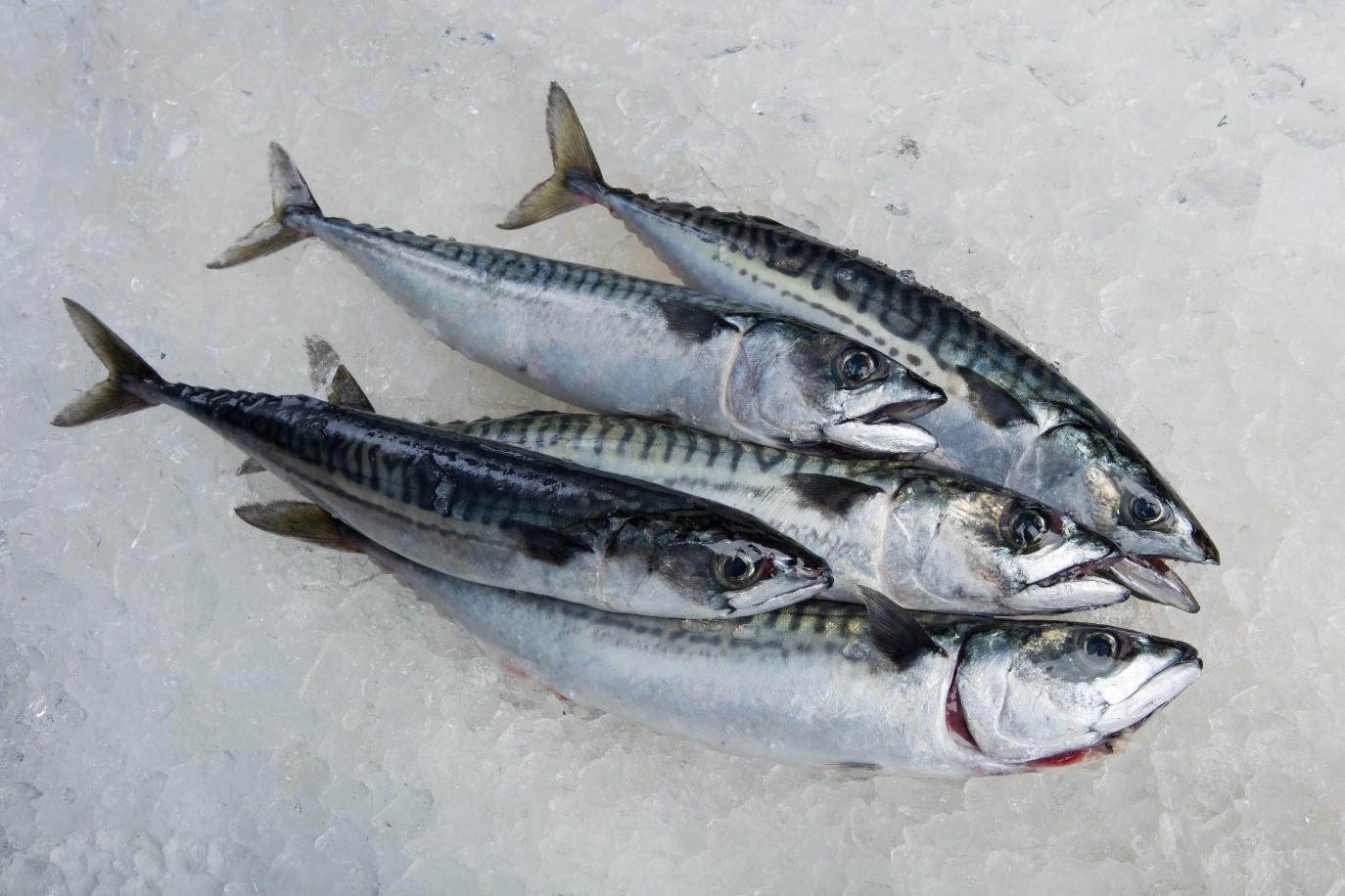 Mackerel Fish from Flying Fish at Home